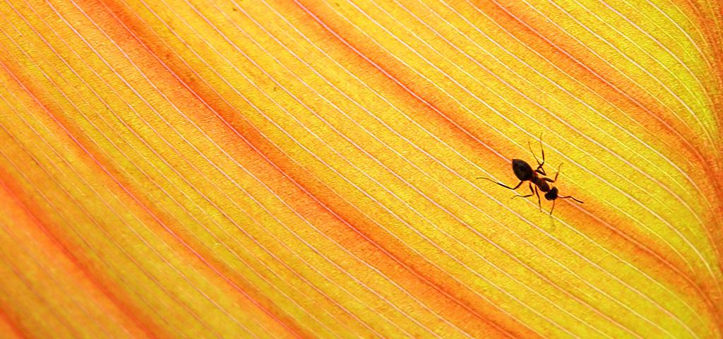 Muurahainen kävelee lakanalla.
